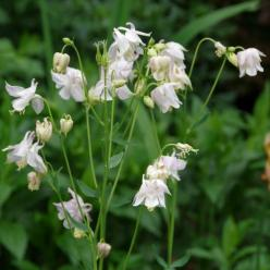 Aquilegia vulgaris - Akelei