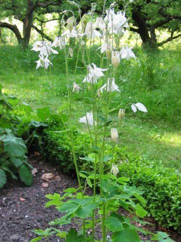 Aquilegia vulgaris 'Nivea' - Witte akelei