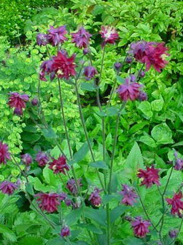 Aquilegia vulgaris 'Ruby Port' - Wijnrode akelei