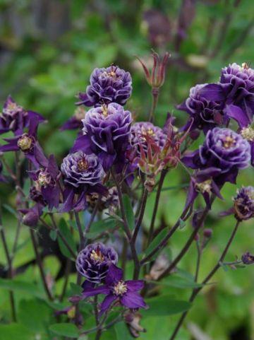Aquilegia vulgaris 'Winky Double Darkblue White' - Dubbele akelei
