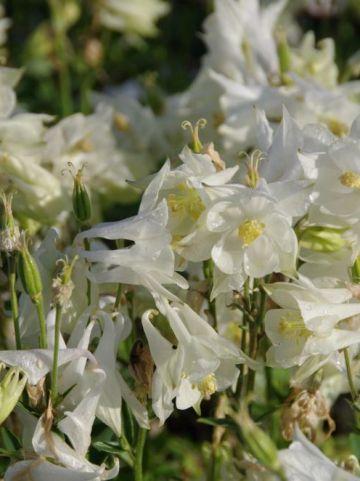 Aquilegia vulgaris 'Winky White' - Dubbele akelei