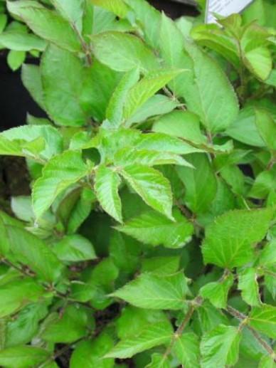 Aralia racemosa  -