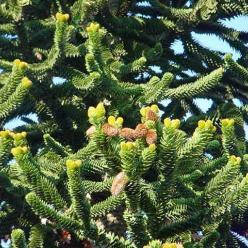 Araucaria araucana  - Apenboom , Slangenden
