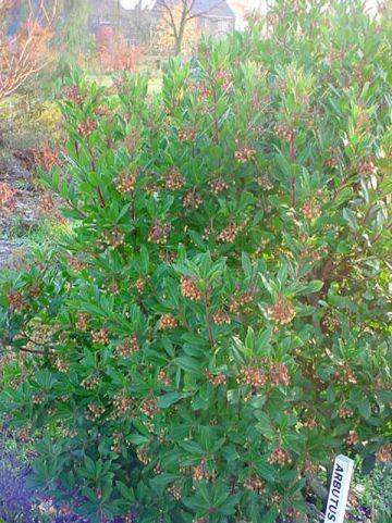 Arbutus unedo  - Aardbeiboom