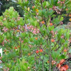 Arbutus unedo 'Rubra' - Aardbeiboom