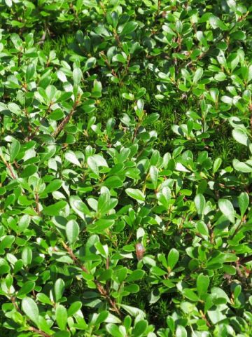 Arctostaphylos uva-ursi 'Vancouver Jade' - Beredruif