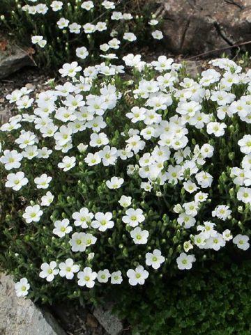 Arenaria montana  - Zandkruid , Bergzandkruid
