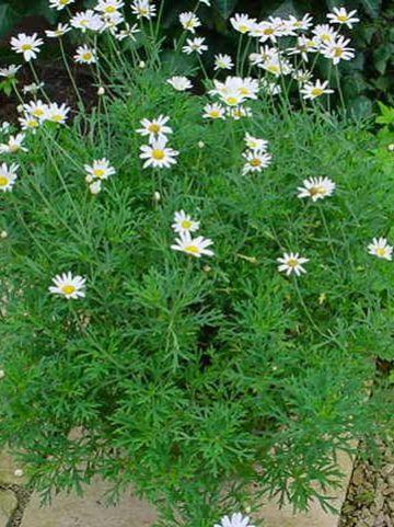 Argyranthemum frutescens  - Struikmargriet