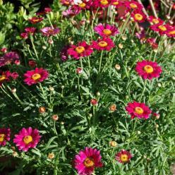 Argyranthemum frutescens 'Angelic Burgundy' - Struikmargriet