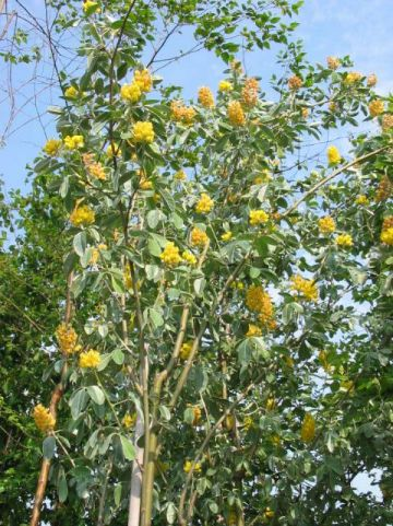 Argyrocytisus battandieri  - Boombrem