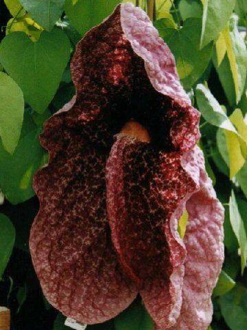 Aristolochia grandiflora  -