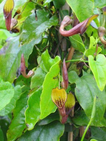 Aristolochia sempervirens  - Pijpbloem
