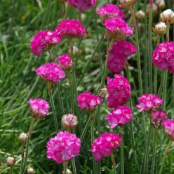 Armeria maritima - Engels gras, strandkruid
