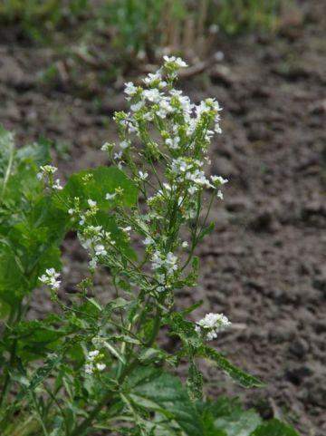 Armoracia rusticana  - Mierikswortel