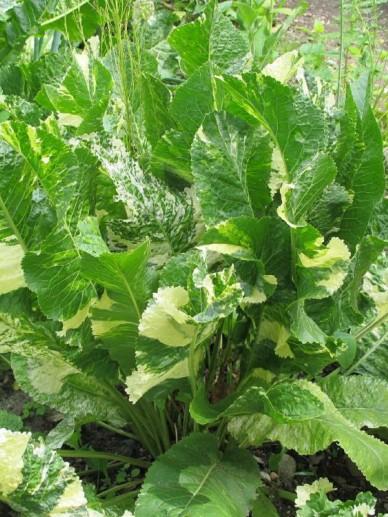 Armoracia rusticana 'Variegata' - Bontbladige mierikswortel