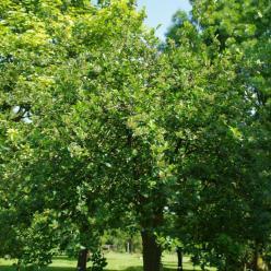 Aronia melanocarpa - Zwarte appelbes