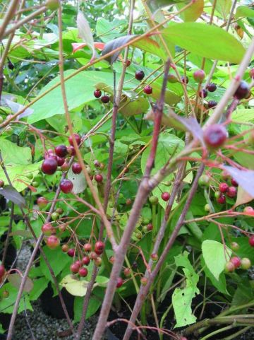Aronia melanocarpa 'Autumn Magic' - Appelbes