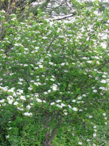 Aronia × prunifolia  'Viking' - Appelbes