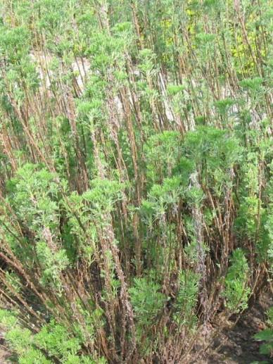 Artemisia abrotanum - Citroenblad