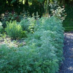Artemisia absinthium  - Absint , Alsem