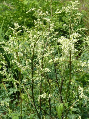 Artemisia lactiflora 'Guizhou' - Witte bijvoet