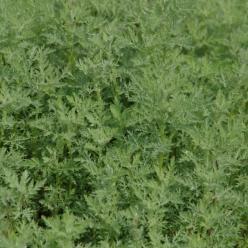 Artemisia pontica  - Edelruit