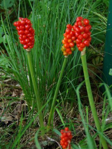 Arum maculatum  - Aronskelk , Gevlekte aronskelk