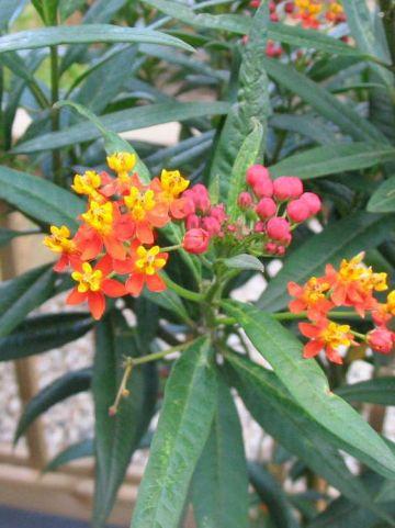 Asclepias curassavica  - Papagaaiebloem , Zijdeplant