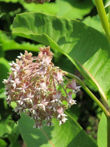 Asclepias syriaca  - Papagaaiebloem , Zijdeplant