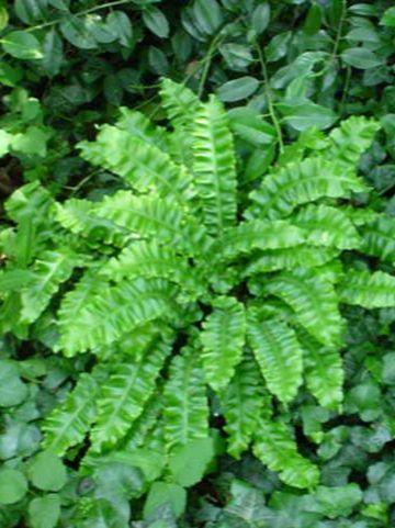 Asplenium scolopendrium 'Cristatum' - Tongvaren