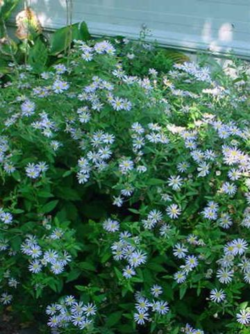 Aster ageratoides 'Asran' - Aster