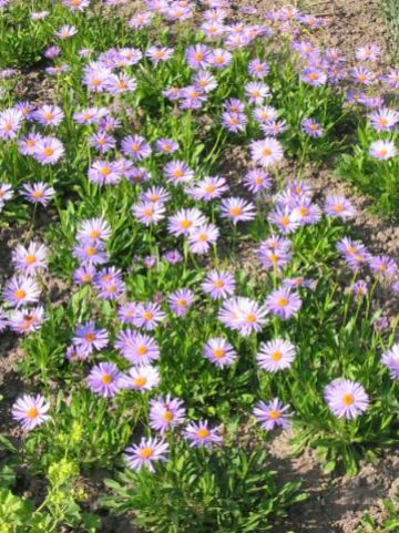 Aster alpinus  - Alpenaster , Voorjaarsaster