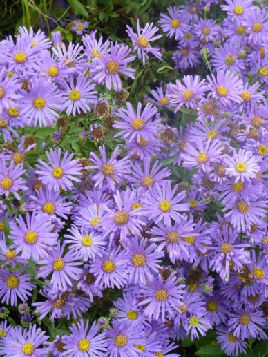 Aster amellus 'Blue King' - Aster