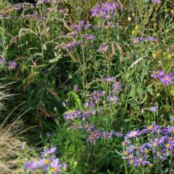 Aster ericoides 'Blue Star' - Aster