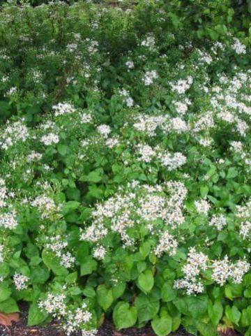 Aster macrophyllus 'Albus' - Grootbladige aster
