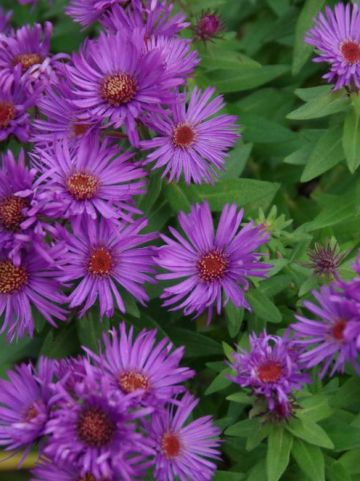 Aster novae-angliae 'Purple Dome' - Herfstaster