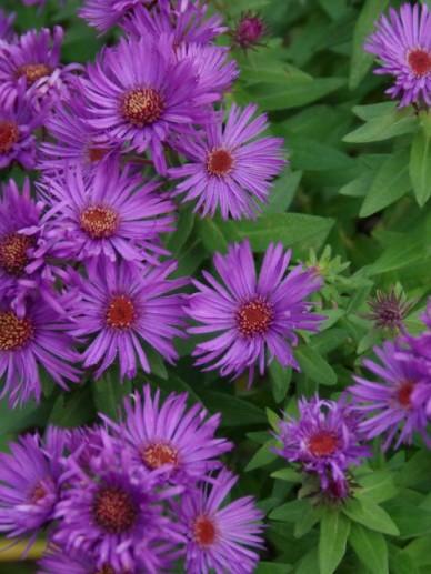 Aster novae-angliae 'Purple Dome' - Herfstaster