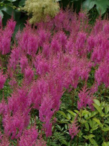Astilbe 'Bressingham Beauty' - Pluimspirea, prachtspirea