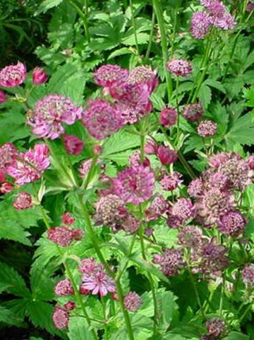 Astrantia major 'Claret' - Zeeuws knoopje