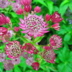 Astrantia major 'Lars' - Zeeuws knoopje