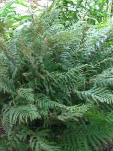 Athyrium filix-femina  - Wijfjesvaren