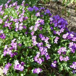 Aubrieta  'Cascade Blue' - Aubretia