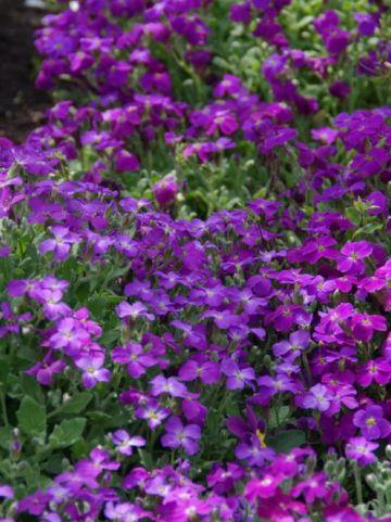 Aubrieta  'Cascade Purple' - Aubretia