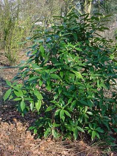 Aucuba japonica  - Broodboompje