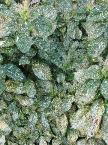 Aucuba japonica 'Crotonifolia' - Broodboompje