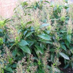 Aucuba japonica 'Longifolia' - Broodboompje