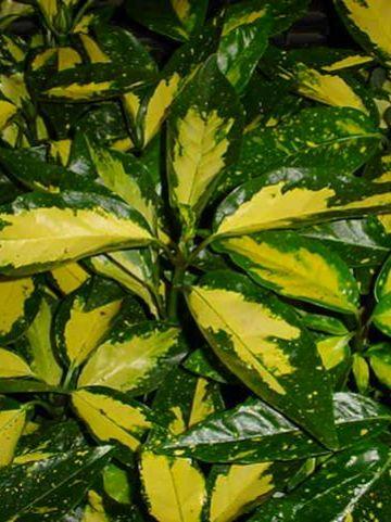 Aucuba japonica 'Picturata' - Broodboompje