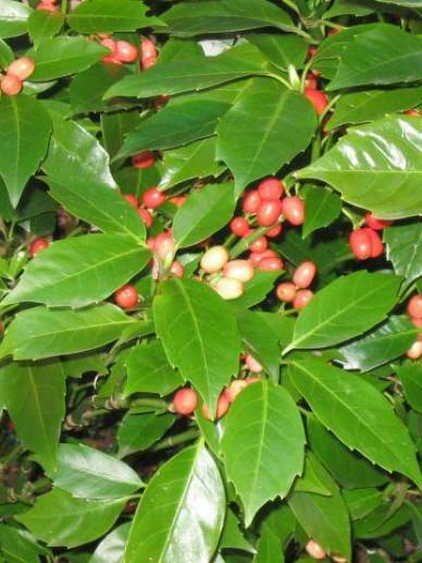 Aucuba japonica 'Rozannie' - Broodboompje
