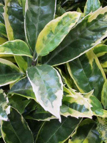 Aucuba japonica 'Sulphurea Marginata' - Broodboompje