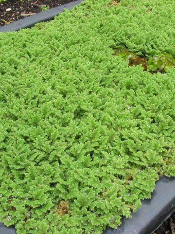 Azolla caroliniana  - Kleine kroosvaren